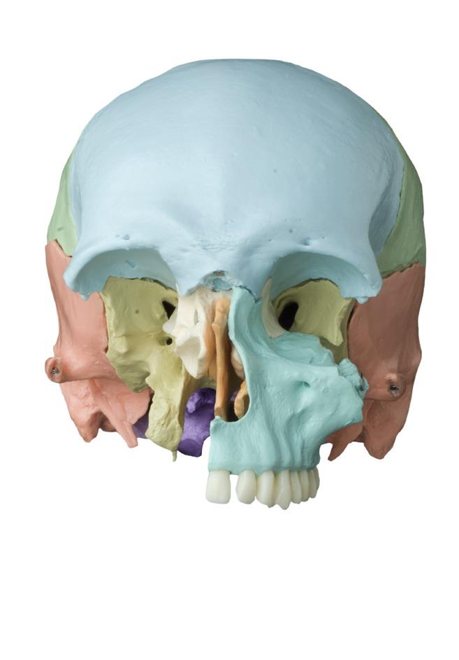Steckschädel, 18-teilig, pastellfarbene Knochen-A229.2