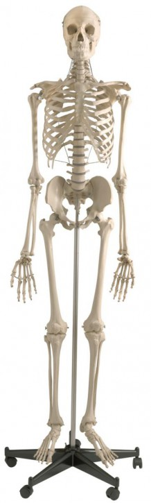 Homo-Skelett, Standard