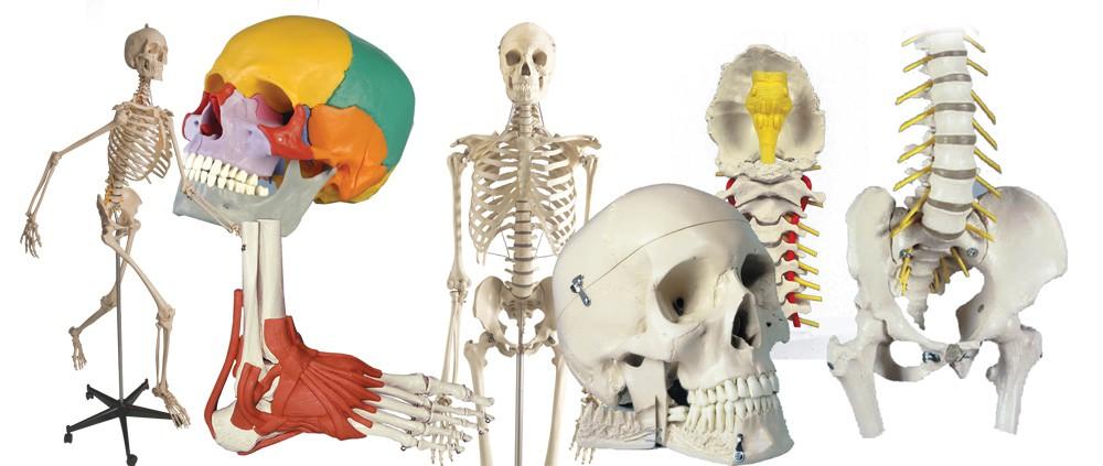 Skelettemodelle