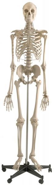Muskel Skelette