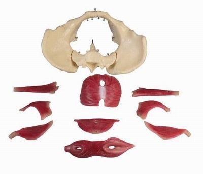 Weibliches Beckenbodenmodell, 12 Teile
