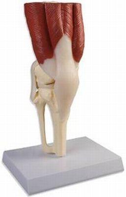 Kniegelenk, natürliche Größe, mit Muskulatur