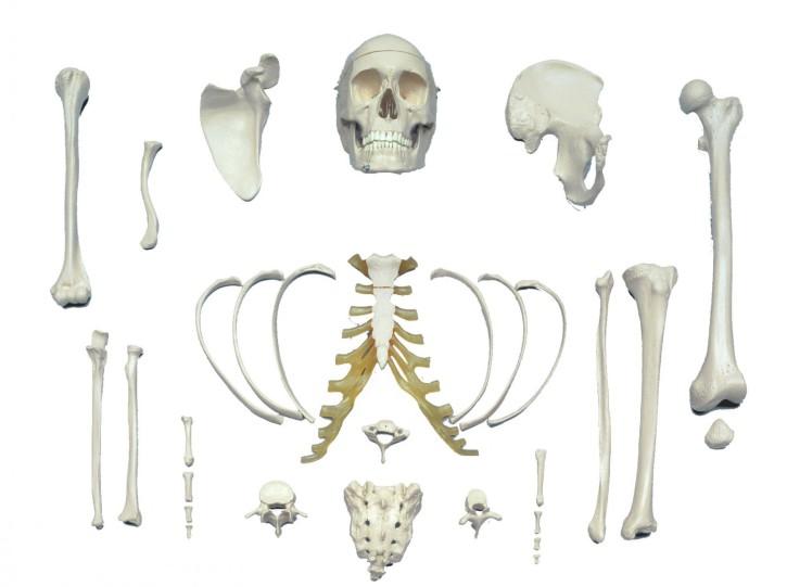 Bone Set - Satz repräsentativer Knochen