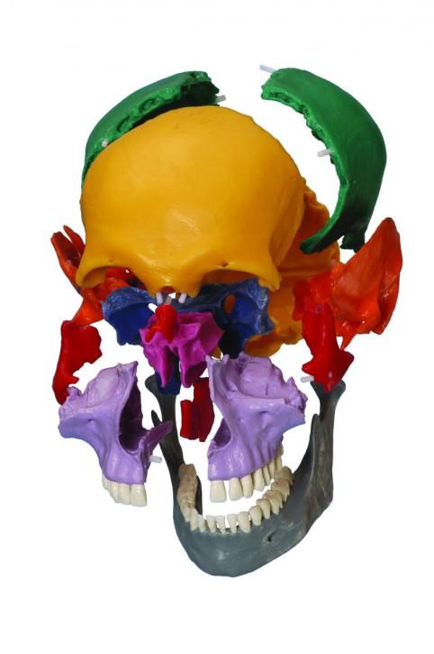 Steckschädel, 18-teilig, farbige Einzelknochen