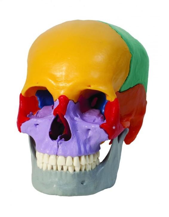 Magnetschädel, 18-teilig, farbige Einzelknochen
