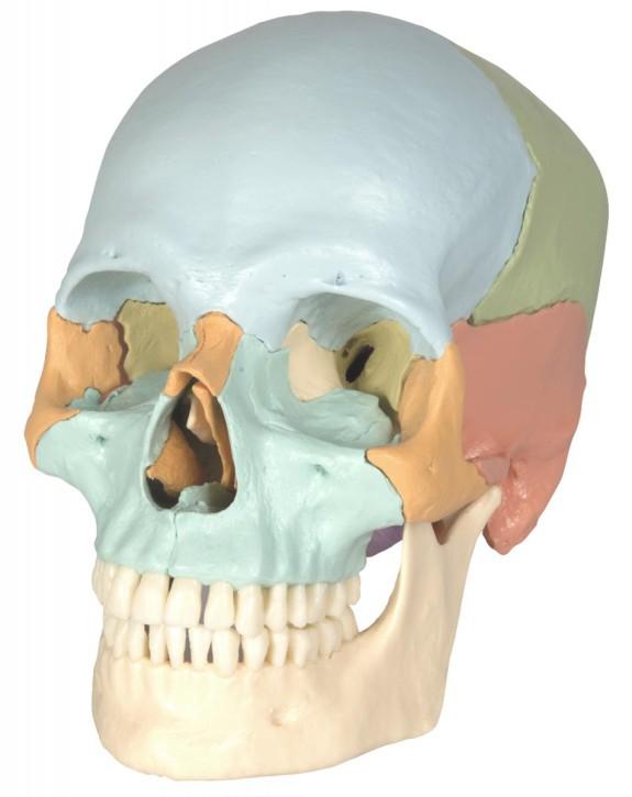 Steckschädel, 18-teilig, pastellfarbene Knochen