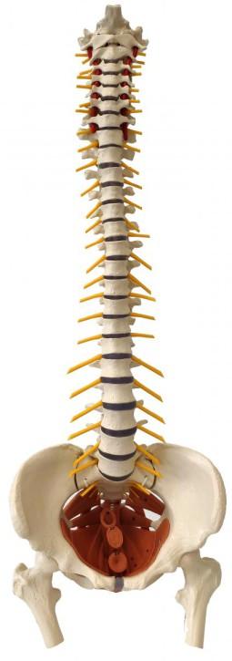 Flexible Wirbelsäule mit Beckenbodenmuskeln