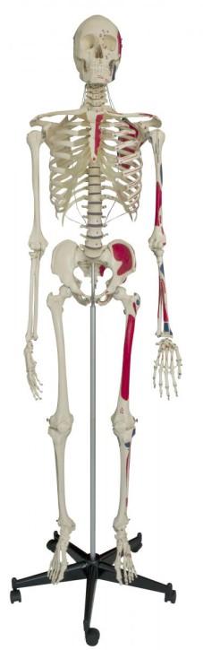 Homo-Skelett mit Muskeldarstellung