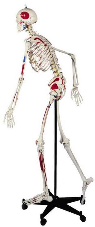 Homo-Skelett, flexibel und mit Muskeln