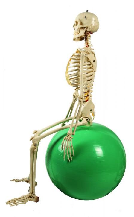 Physiologisches Skelett mit weichen Zwischenwirbeln