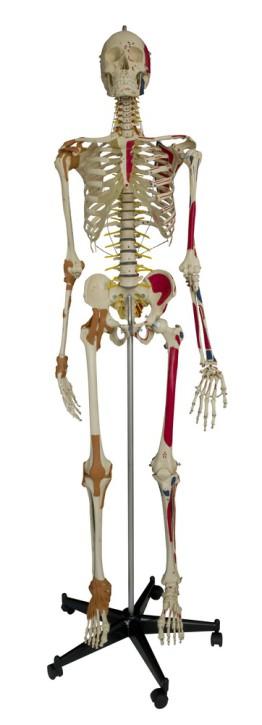 Super-Duper-Skelett (mit Hand, Fuß, Hüft Schulter u. Ellenbogengelenk)