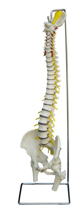 Flexible Wirbelsäule