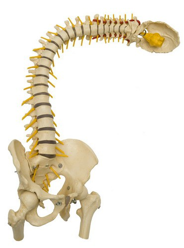 Flexible Wirbelsäule besonders flexibel