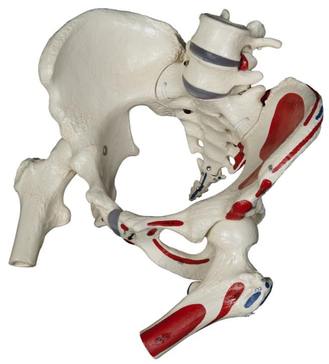 Weibliches Beckenskelett mit Muskelbemalung, flexibel