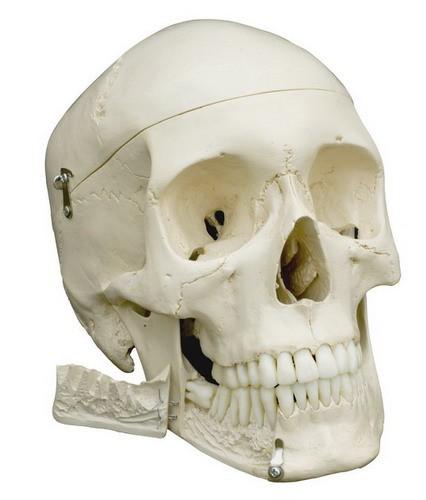 Homo-Schädel