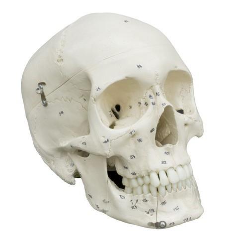 Homo-Schädel mit Knochennumerierung