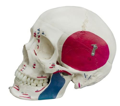 Homo-Schädel, Spezialausführung mit Muskeldarstellung