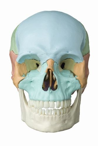 Magnetschädel, 18-teilig, pastellfarbene Knochen