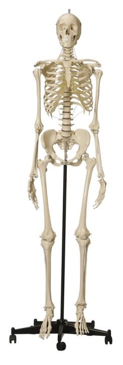 Skelett mit weiblichem Becken