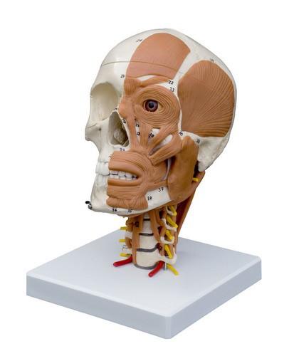 Schädel auf Halswirbelsäule mit Darstellung der Hals- und Kopfmuskulatur