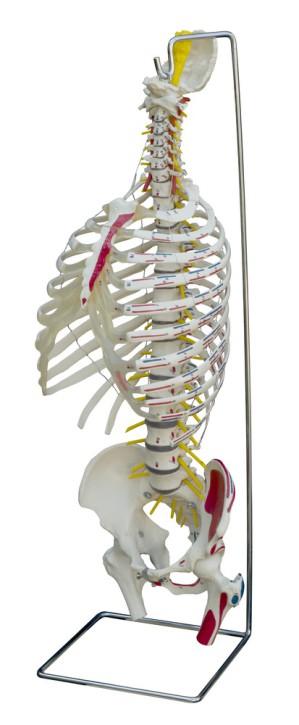 Wirbelsäule mit Brustkorb und Muskelbemalung