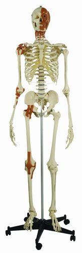 Skelett mit 4 Gelenkbändern und Gesichts- Hals - und Nackenmuskulatur