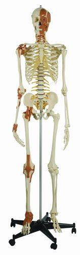 Skelett mit 6 Gelenkbändern und Gesichts- Hals - und Nackenmuskulatur