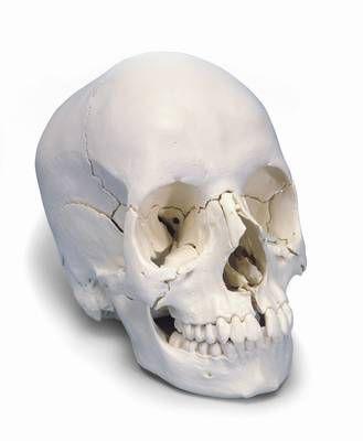 Steckschädel, Anatomische Version, 22-teilig