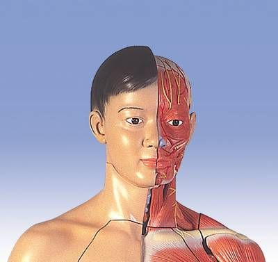 Lebensgroße zweigeschlechtige Muskelfigur,  asiatisch, 39-teilig