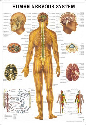 Nervensystem des Menschen, 50 x 70 cm, papier