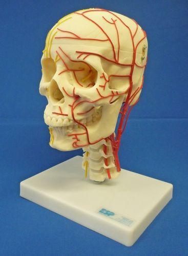 Neuro-vasculärer Schädel