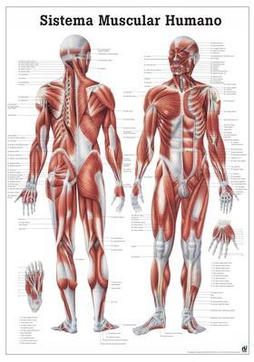 Sistema Muscolar Humano