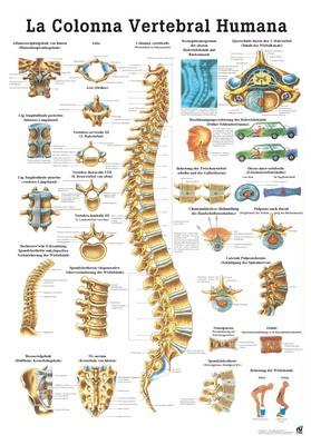 La Columna Vertebral Humana