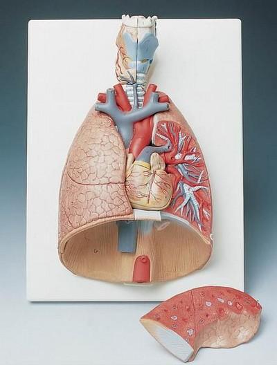 Medizinisches Modell Lunge 7 TEILIG