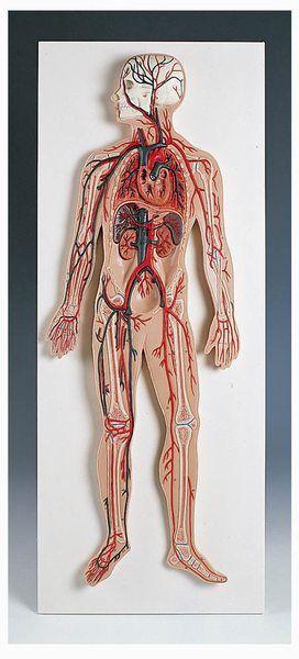 Medizinisches Modell BLUTKREISLAUF (Reliefmodell)