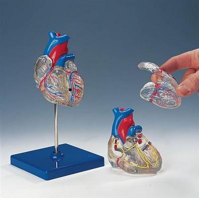 Medizinisches Modell - Transparentes Herz, 3/4 Größe , 2-teilig