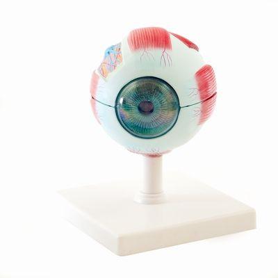 Augenmodell, 2-teilig 4-fach vergrößert