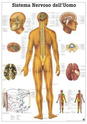Sistema Nervoso Dell' Uomo