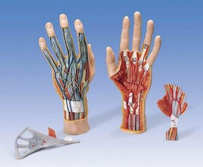 Strukturmodell der Hand