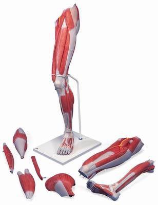 Muskelbein, 7-teilig