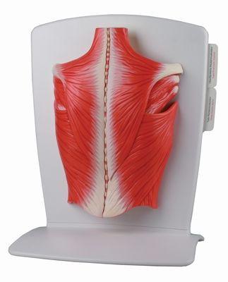 Rückenmuskulatur Modell