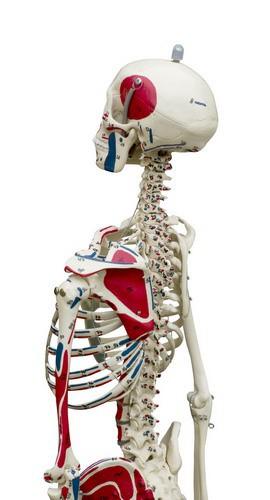 Mini-Skelett,mit flexibler Wirbelsäule, mit Muskelbemalung