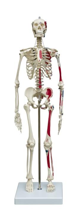 Mini-Skelett mit Muskeldarstellung