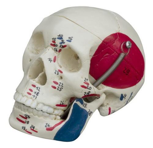 Mini-Schädel mit Muskeldarstellung