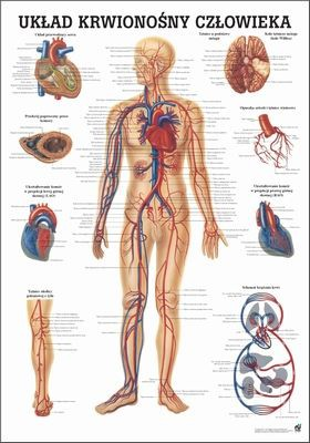 Uklad Krwionosny Czlowieka