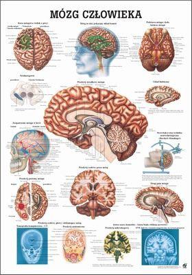 Mózg Czlowieka