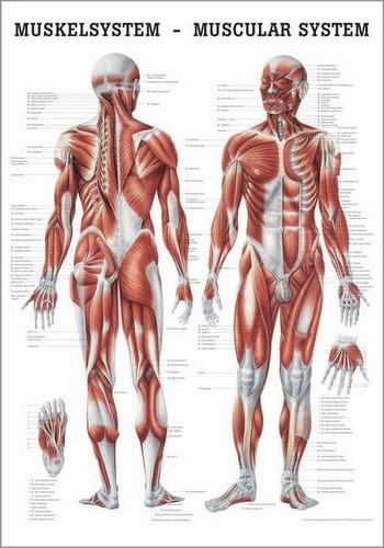 Muskelsystem des Menschen, 50 x 70 cm, papier