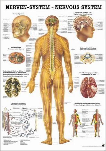 Nervensystem des Menschen, 24 x 34 cm, papier