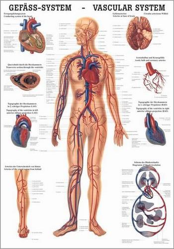 Gefäßsystem des Menschen, 24 x 34 cm, laminiert