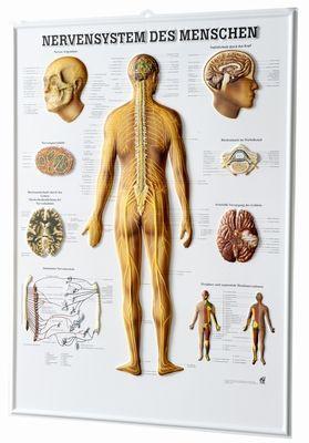Relieftafel - Nervensystem